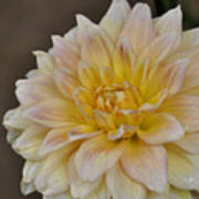 Peaches And Cream Dahlia Poster
