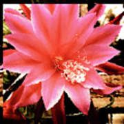 Peachy Pink Cactus Orchid Poster