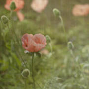 Peachy Poppies Poster