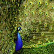 Peacock At Frankenmuth Michigan Poster