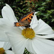 Peacock Butterfly On Cosmos Poster