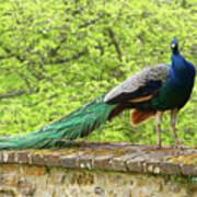 Peacock, Chateau De Saint-germain-de-livet Poster