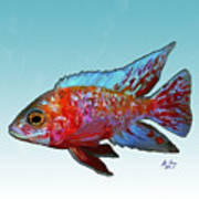 Peacock Cichlid Poster
