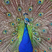 Peacock Displaying His Plumage Poster