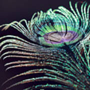 Peacock Feather With Dark Background Poster