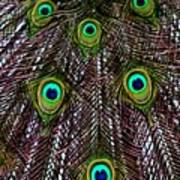 Peacock Feathers Upside Down Poster