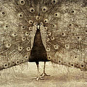 Peacock Grunge Poster