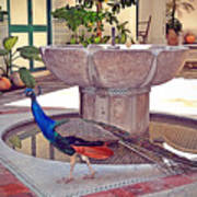 Peacock - Havana Cuba Poster
