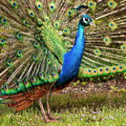 Peacock In Beacon Hill Park Poster