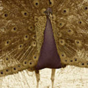 Peacock In Sepia Poster