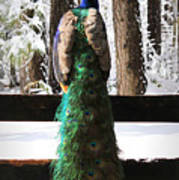 Peacock In The Snow Poster