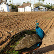 Peacock On The Farm Poster
