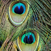Peacock Pavo Cristatus Feather Detail Poster