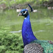 Peacock Portrait #3 Poster