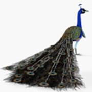 Peacock Profile Poster
