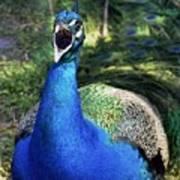 Peacocks Squawk Poster