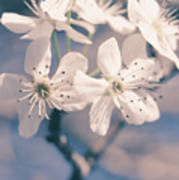 Pear Blossoms 4 Poster