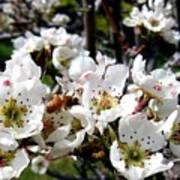 Pear Blossoms And Bee Poster