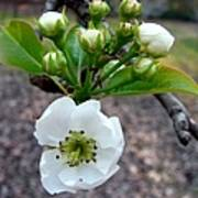 Pear Tree Blossom 3 Poster