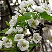 Pear Tree Blossoms 2 Poster