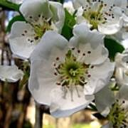 Pear Tree Blossoms 3 Poster