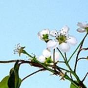 Pear Tree Blossoms 4 Poster