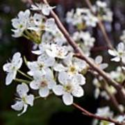 Pear Tree Blossoms IIi Poster