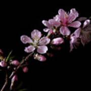 Peach Tree Blossum Poster