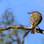 Pearly-vented Tody-tyrant Poster