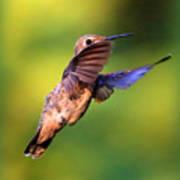 Peek-a-boo Hummingbird Poster