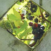 Peeking At Grapes Poster