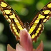 peeking Butterfly Poster