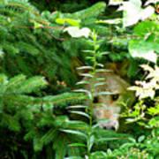 Peeking Out Wolf Poster