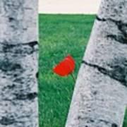 Peeking Tulip Poster