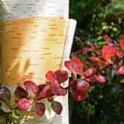 Peeling Bark Of White Birch Tree Poster