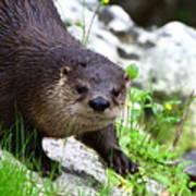 Peering Otter Poster