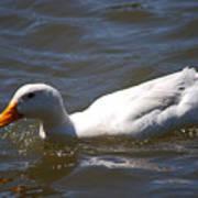 Pekin Duck 20120512_38 Poster