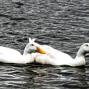 Pekin Ducks Poster