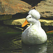 Pekin Pop Top Duck Poster