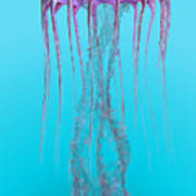 Pelagia Noctiluca Jellyfish Poster