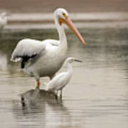 Pelican And Snowy Egret 6459-113017-1cr Poster