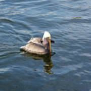 Pelican Eating Dinner Poster
