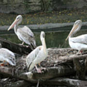 Pelican Grouping Poster