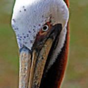 Pelican Head Poster