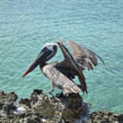Pelican In Aruba Landing On Lava Rock Poster
