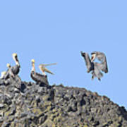 Pelican Landing On A Rock Poster