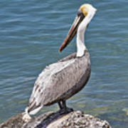 Pelican On Rock Poster