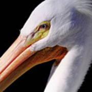Pelican Portrait Poster
