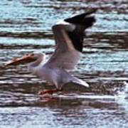 Pelican Skimming The Rock River Poster