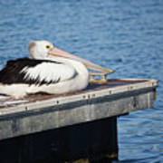 Pelican Taking Time Out 691 Poster